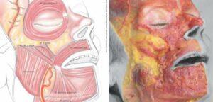 Anatomie du visage dissections