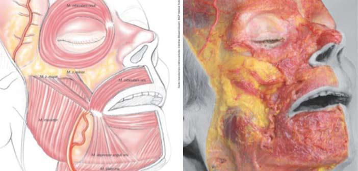 Anatomie appliquée aux produits de comblements et a la toxine botulique
