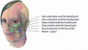 Compartiment profond du tissu gras de la région