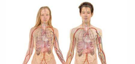 corps humain intérieur