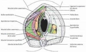 Muscles superficiels du périnée féminin